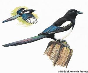 Armenian Magpie - Birds of Armenia Project - Acopian Center for the Environment at AUA